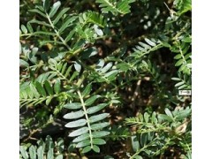 天然优质提取物 刺蒺藜提取物(刺蒺藜皂甙20-98%)抗衰老