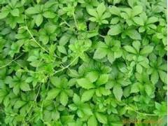 供应绞股蓝提取物【总皂甙】80%98%天然植物提取物,降血压