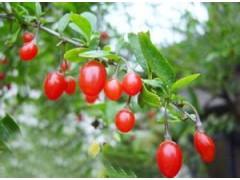 纯天然植物萃取,枸杞提取物50% 枸杞多糖 滋补肝肾益精明目