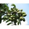 供应橄榄提取物,橄榄苦甙10%