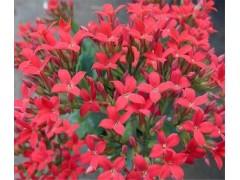 红景天提取物 3%红景天甙 络塞维