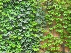 常春藤提取物,常春藤甙C10%