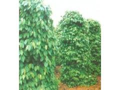 西安天本新货供应 30%胡椒碱原料 黑胡椒提取物