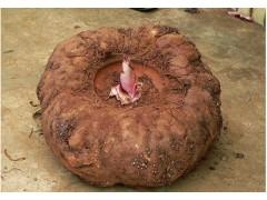 供应 魔芋粉(魔芋提取物)/60% 、70% 、90%魔芋粉