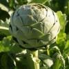 植物提取物厂家供应朝鲜蓟提取物,洋蓟酸