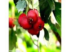 植物提取物厂家供应山楂提取物10-30%山楂黄酮
