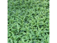 植物提取物厂家优价供应甜叶菊提取物&甜菊糖甙