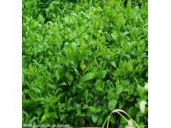 植物提取物厂家供应绿茶提取物-茶多酚,EGCG