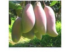 野生芒果籽提取物
