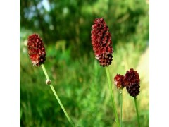 植物提取物厂家供应优质含量为10:1地榆提取物