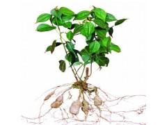 植物提取物厂家供应乌药提取物