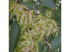 植物提取物厂家供应 苦木提取物