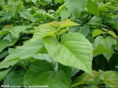 桑叶提取物  工厂生产 代加工植物提取物