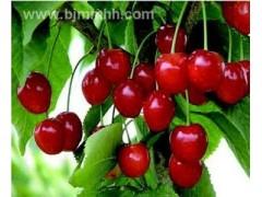 樱桃提取物(有现货)工厂生产 代加工植物提取物 价格优惠