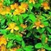 天然提取物绿色 金丝桃苷