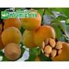 杏 黄杏浓缩粉提取物生产厂家