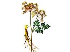 厂家直销100% 天然植物提取物 当归提取物