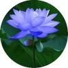 优质蓝莲花提取物5:1