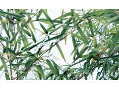 Natural Bamboo Leaf Extract