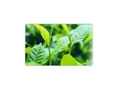 绿茶提取物