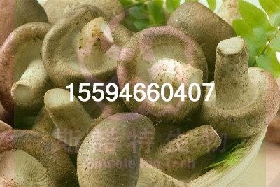 香菇粉菌粉厂家直供斯诺特生物