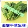 菠菜提取物水溶粉