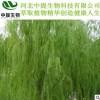 白柳皮提取物 水杨甙98% 50% 25%现货包邮 专业植提厂家【中提】