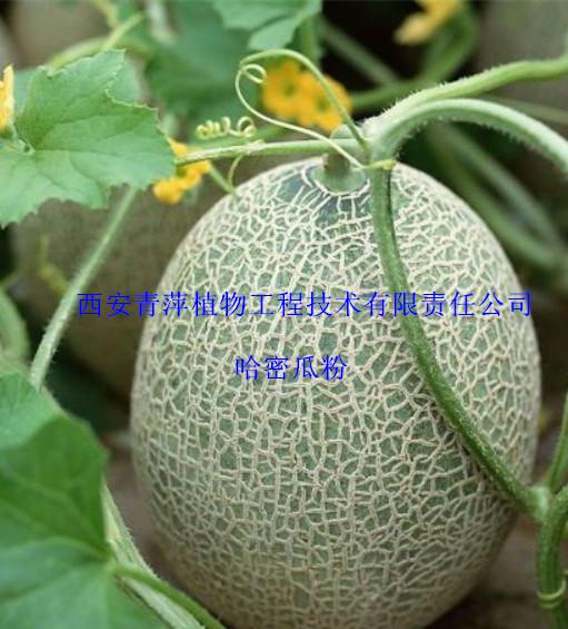 生产哈密瓜粉、无添加任何色素 欢迎咨询采购