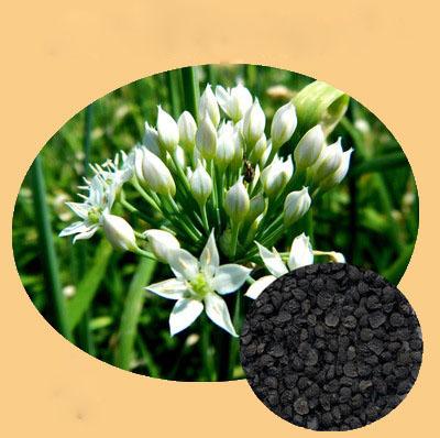 优质韭菜籽提取物 韭菜仁提取物 出口品质