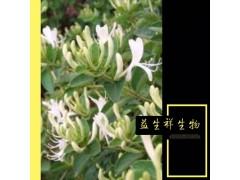 金银花提取物 绿原酸含量10:1 金银花粉 金银花速溶粉 包邮
