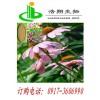 紫锥菊提取分离 紫锥菊多酚/菊苣酸