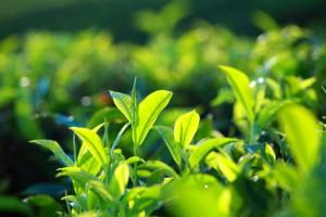 乱用绿茶提取物当心损伤肝脏