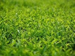 绿茶提取物结合运动可大幅降低肥胖相关脂肪肝的严重程度