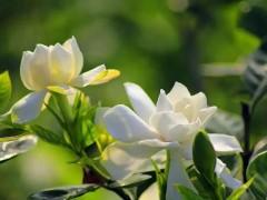 栀子花的功效与作用及禁忌是什么 白栀子花的功效与作用
