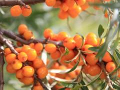 """南疆大规模种植""""第三代水果""""沙棘帮助农民脱贫"""