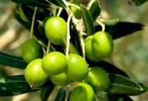 橄榄叶提取物-羟基酪醇-橄榄苦苷
